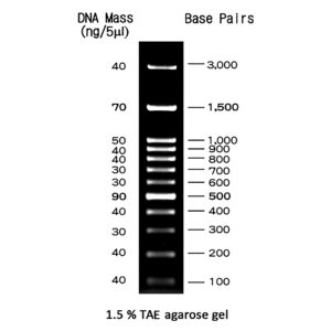 MWD100 - 100 bp DNA ladder with 12 bands