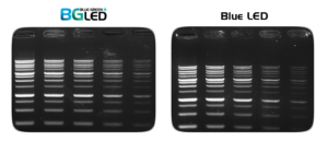 Ultra-sensitive DNA signals with the DNA stain MIDORI Green Xtra