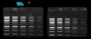 Detektion von DNA mittels des DNA-Farbstoffs MIDORI Green Xtra