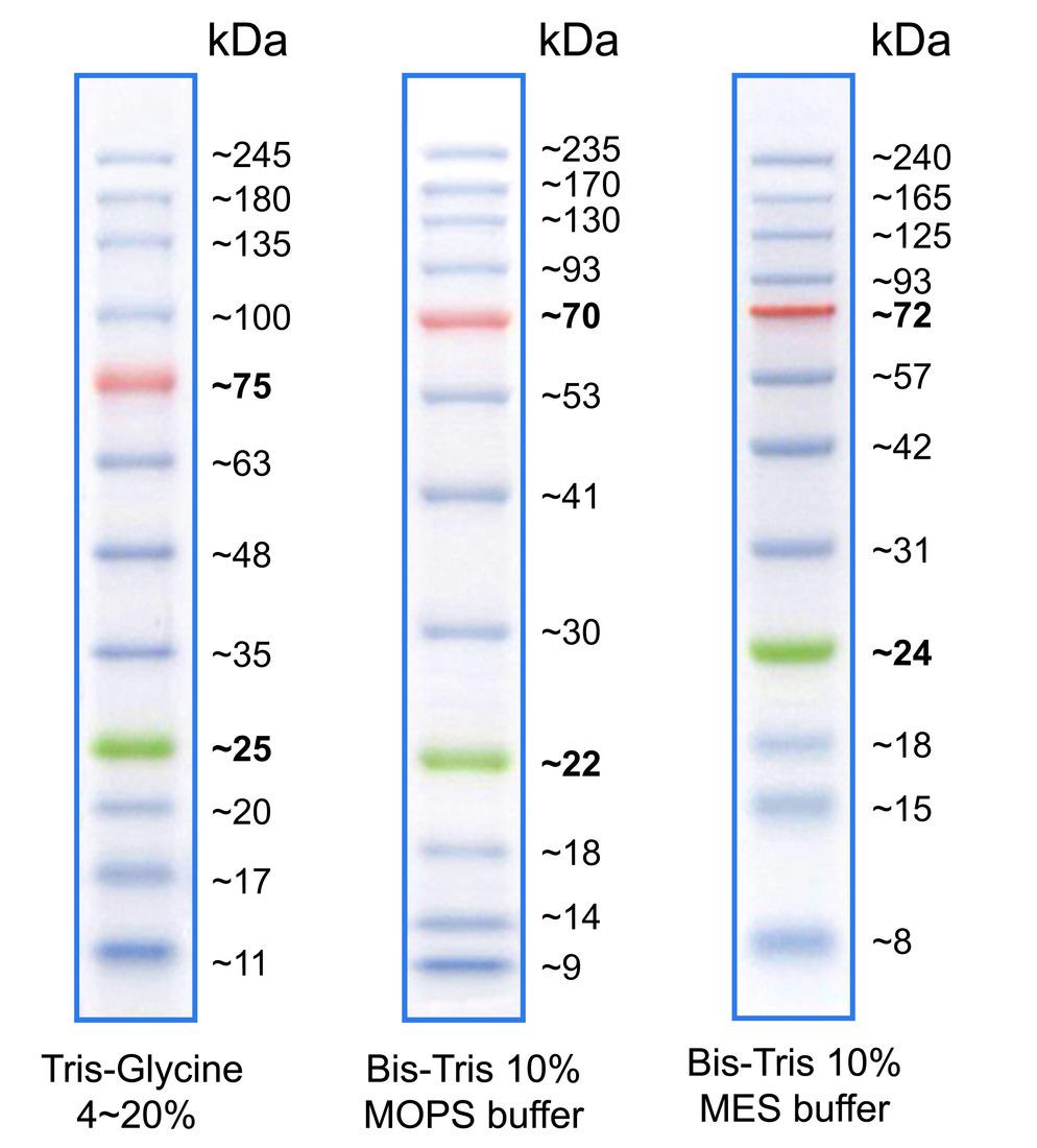 Lauferhalten dse BlueStar PLUS Proteinmarkers in Tris-Glycin, Bis-Tris MOPS und Bis Tris MES Puffer