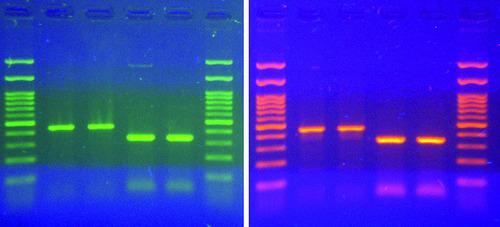 Vergleich Signalintensität Midori Green und Ethidiumbromid
