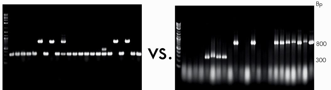 Direct PCR from E. coli colonies